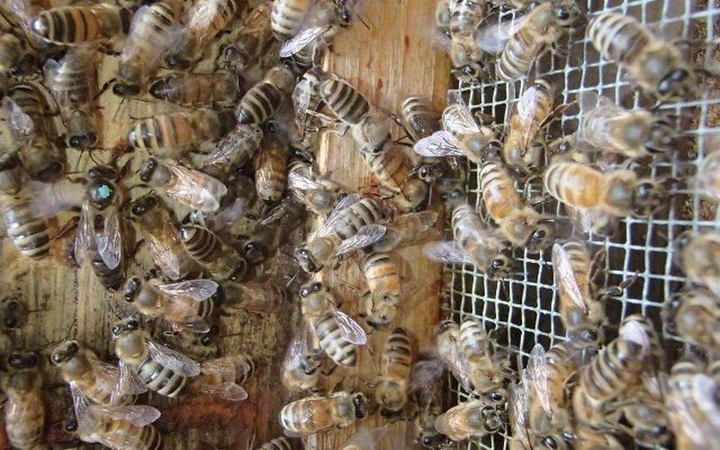 Пчеловодство в России: самые лучшие породы пчел