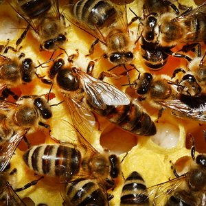 Как выбрать самую продуктивную породу медоносных пчел