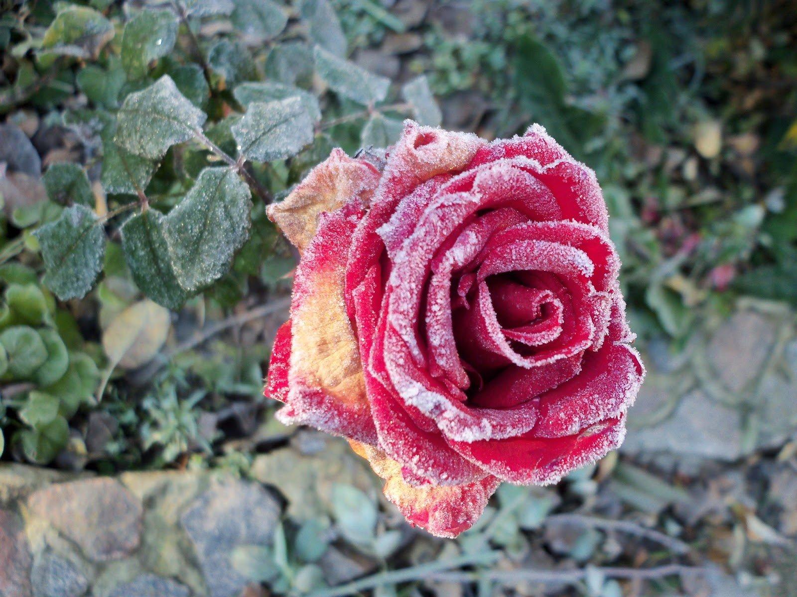 Отчего на листьях розы появляются чёрные пятна и как это лечить