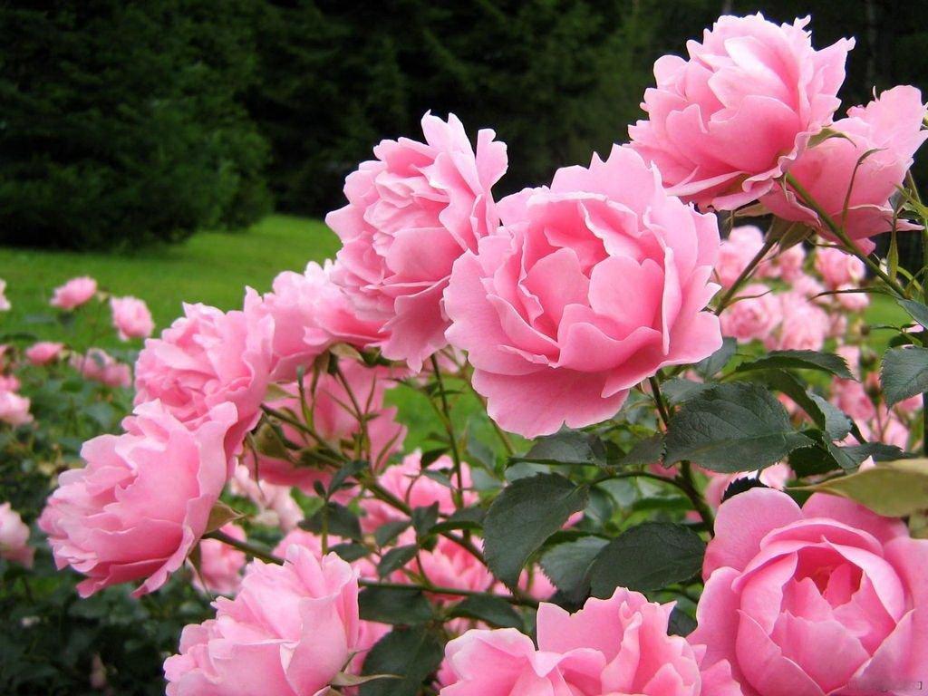 Как вырастить розы в своем саду: как правильно ухаживать за розами