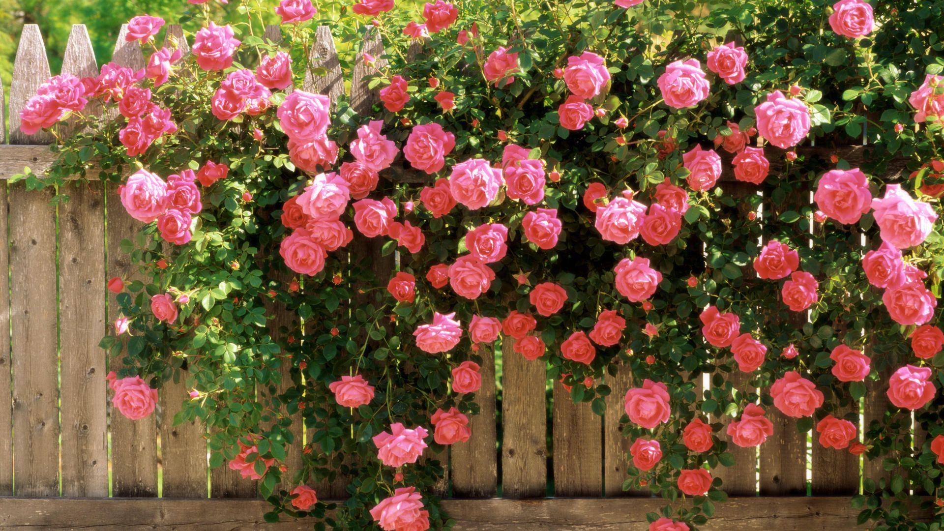 Плетистые розы: обрезка, размножение и лучшие сорта