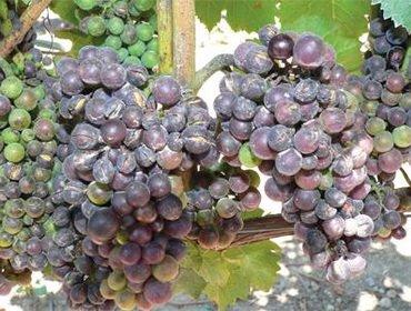 Вредители винограда на листьях: чем опасны