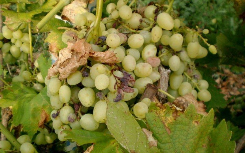 Болезни винограда и чем их лечить (с фото)