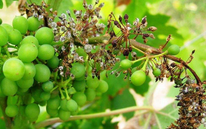 Болезни винограда и чем их лечить (с фото) фото
