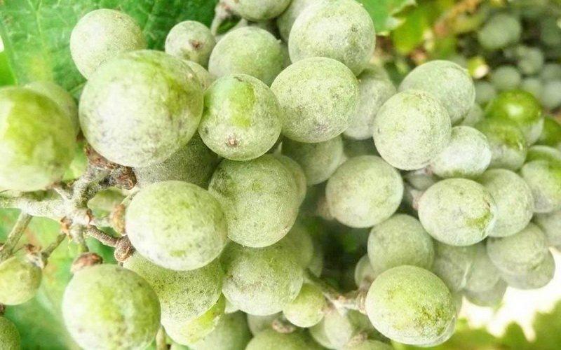 Оидиум заболевание винограда на фото