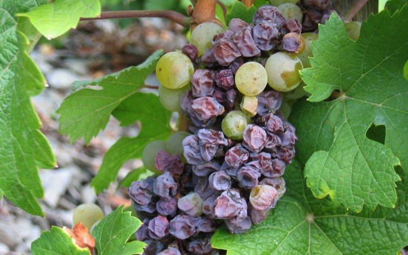 Серая гниль белезнь винограда на фото