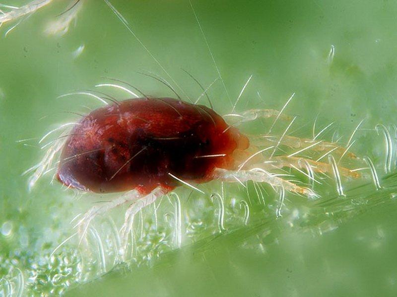 Фото паутинного  клеща