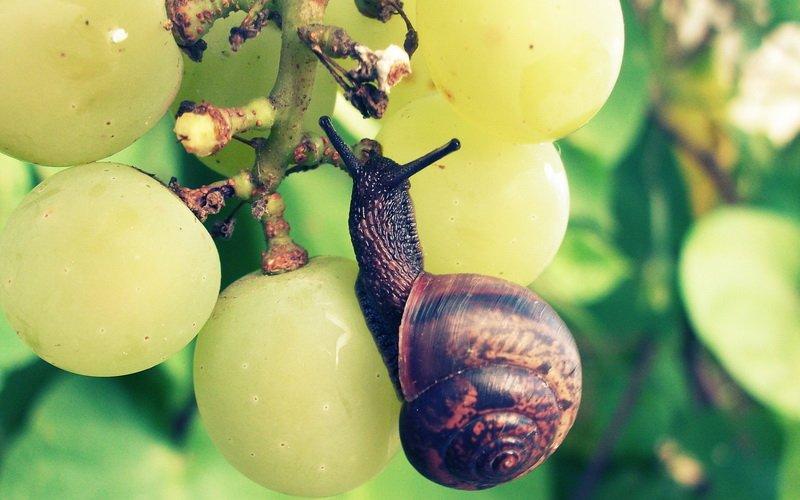 Борьба с вредителями винограда: фото, чем лечить растения