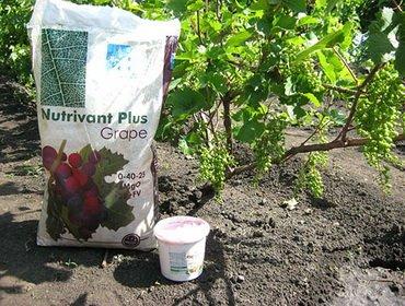Подкормка винограда минеральными и органическими удобрениями
