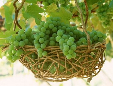 Уход за виноградом весной, летом и осенью