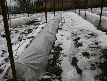 Подготовка винограда к зиме и защита от заморозков