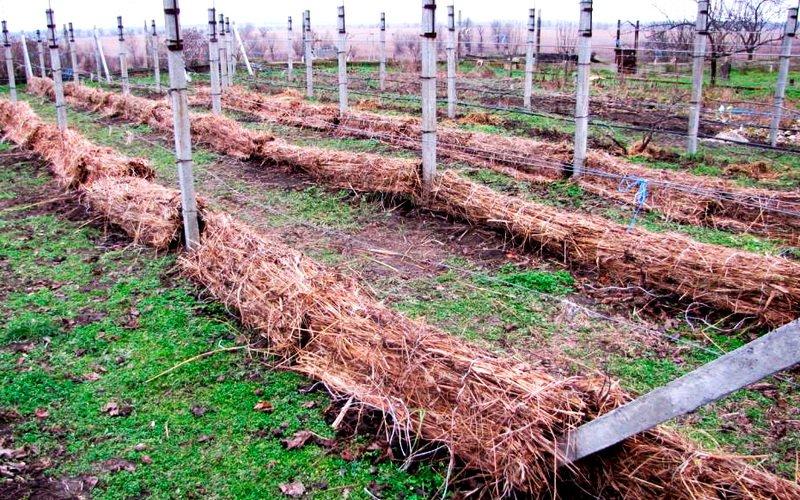 Как защитить виноград: способы укрытия на зиму