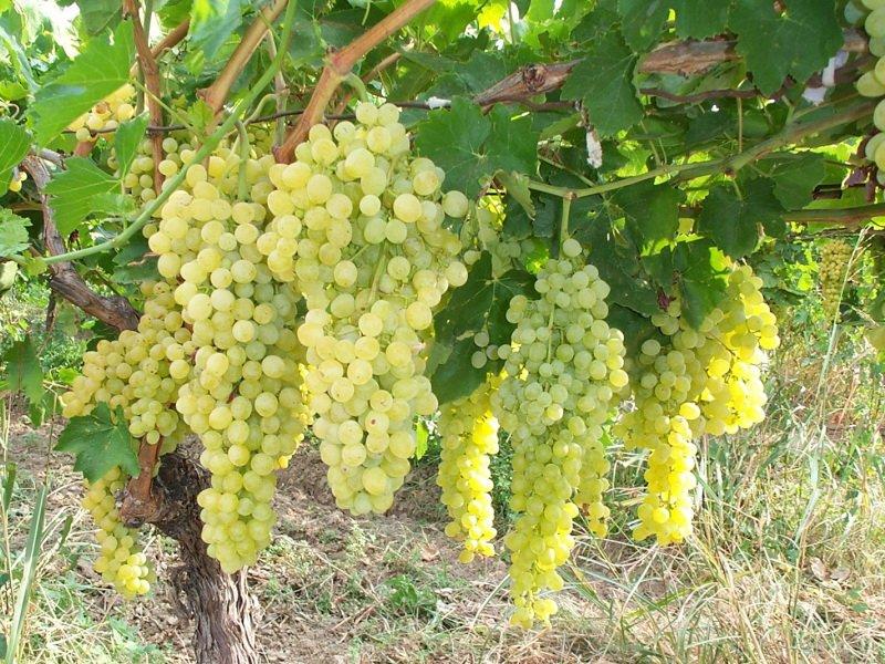 На фото сорт винограда Кристалл