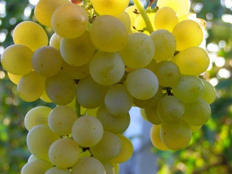 Ягода винограда Кристалл на фото