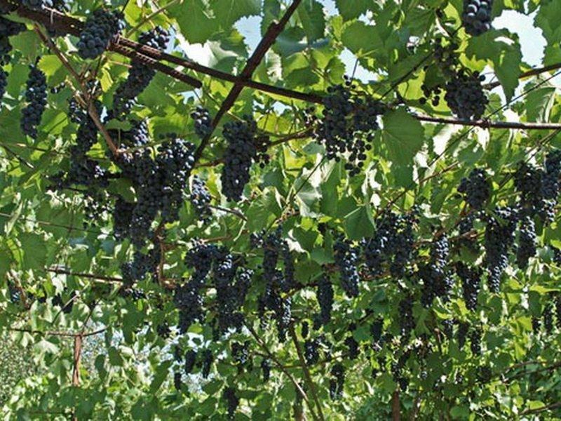 На фото сорт винограда Космонавт