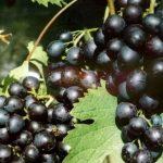 Лучшие сорта белого винограда и их описание