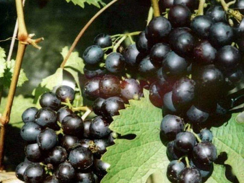 Ягода винограда Космонавт на фото