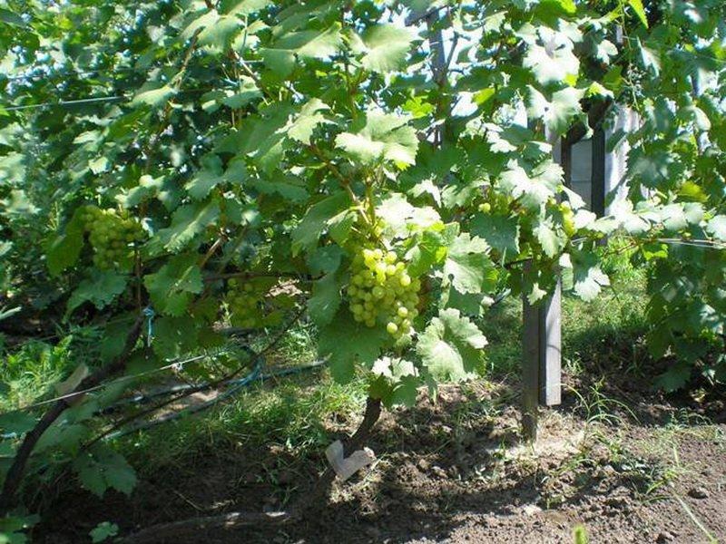 На фото сорт винограда Крымская жемчужина