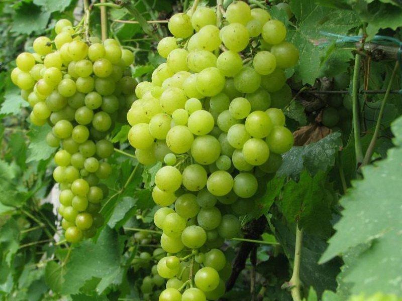 Ягода винограда  Крымская жемчужина на фото
