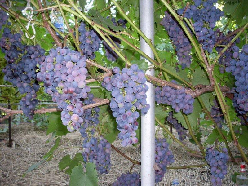 На фото сорт винограда Муромец