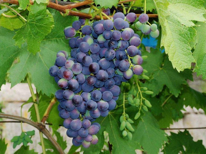 Ягода винограда Муромец на фото