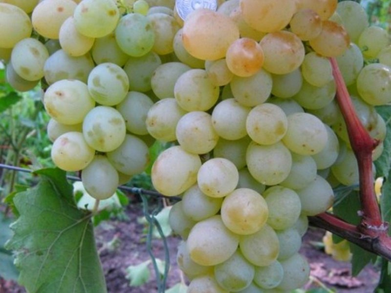 Ягода винограда Мускат Нины на фото