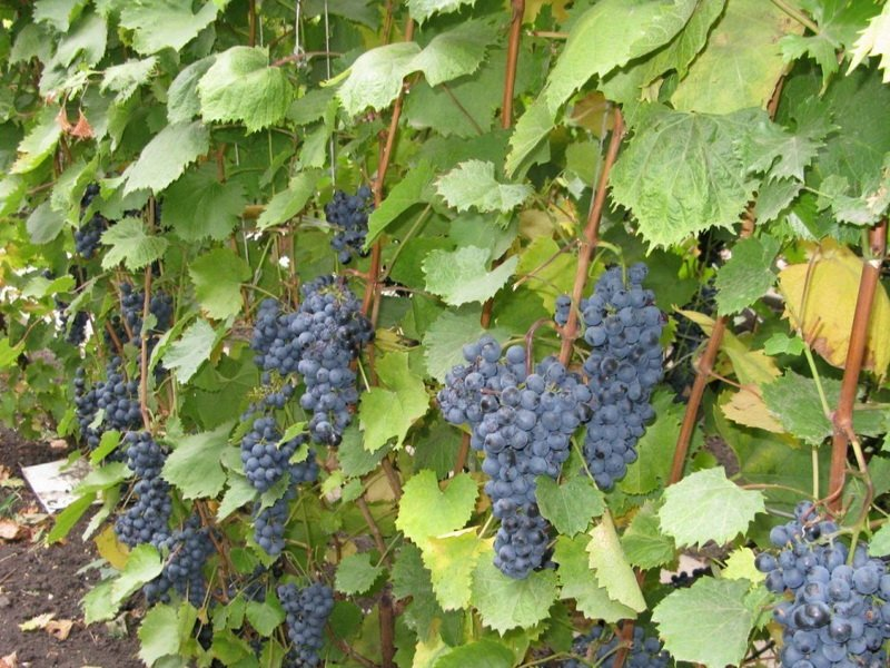 На фото сорт винограда Память Домбковской