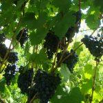 Лучшие элитные сорта винограда для средней полосы России с фото и описанием