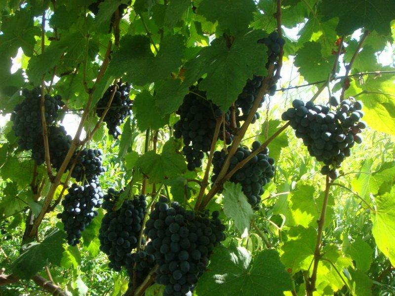На фото сорт винограда Ранний Магарача