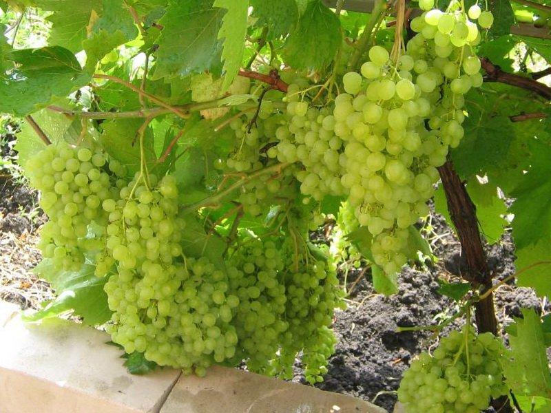 На фото сорт винограда Русбол