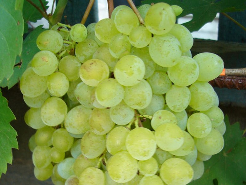 Ягода винограда Русбол на фото