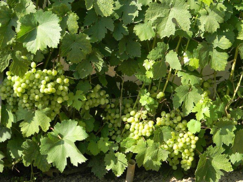 На фото сорт винограда Русвен