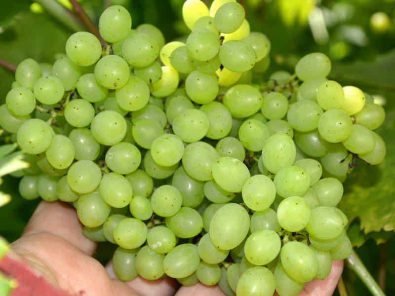 Ягода винограда Русвен на фото