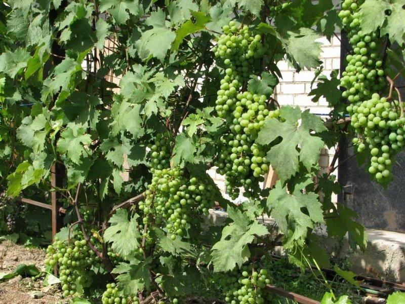 На фото сорт винограда Северный ранний