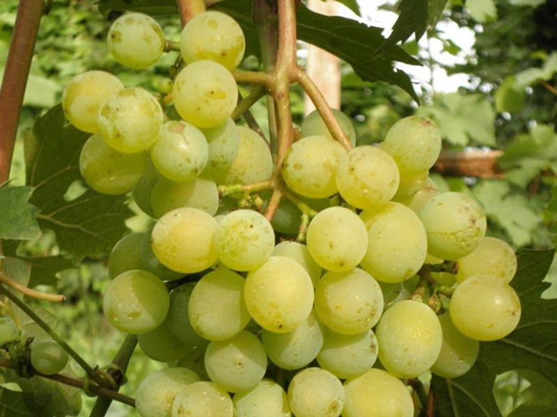 Ягода винограда Северный ранний на фото