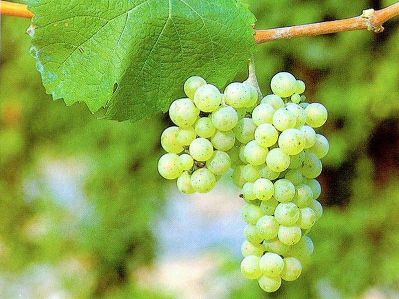 Ягода винограда Скиф на фото