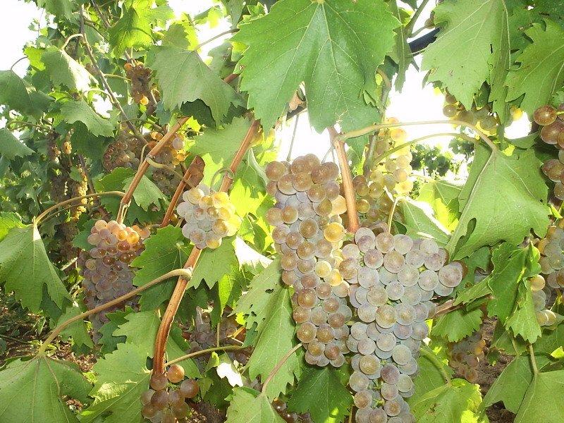 На фото сорт винограда Степняк
