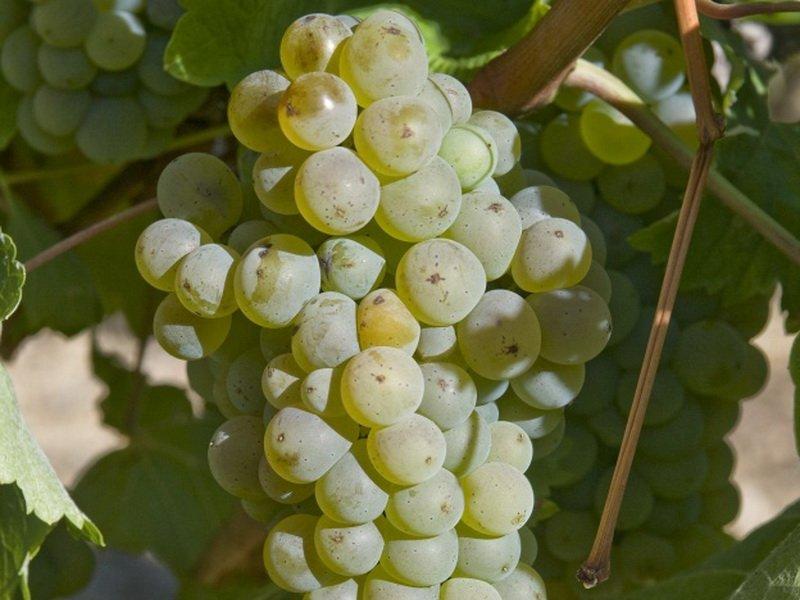 Ягода винограда Степняк на фото