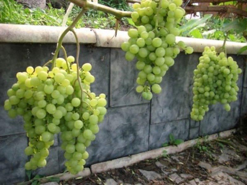 На фото сорт винограда Суворовец
