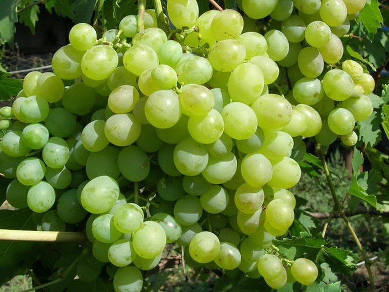 Ягода винограда Суворовец на фото