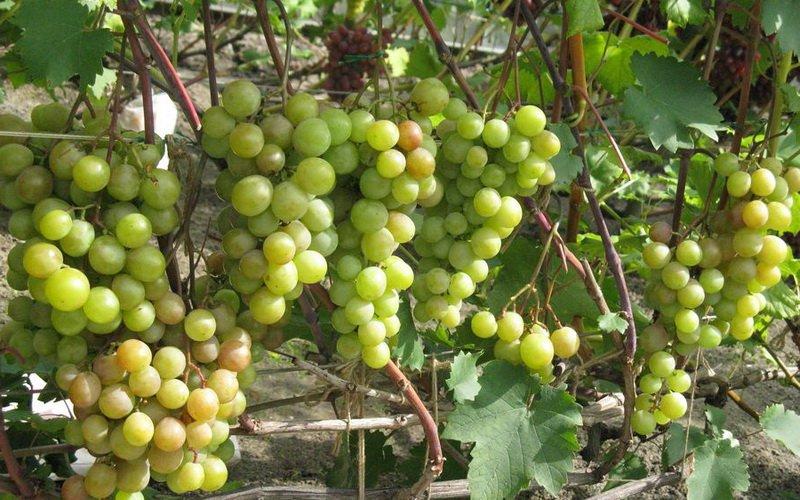 Какие ещё сорта винограда самые зимостойкие?