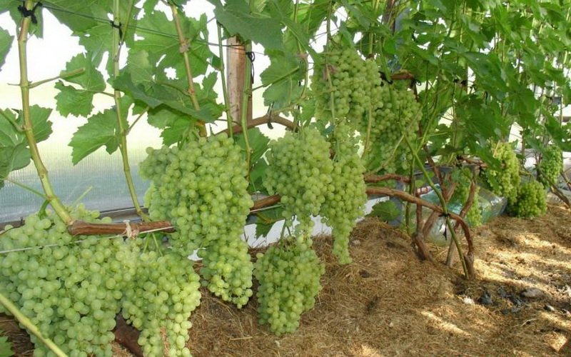 Какие ещё сорта винограда самые зимостойкие? фото