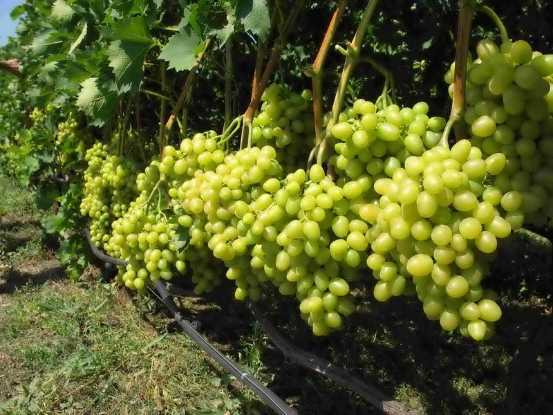 На фото сорт винограда Талисман