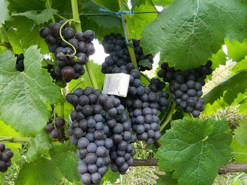На фото сорт винограда Фиолетовый ранний