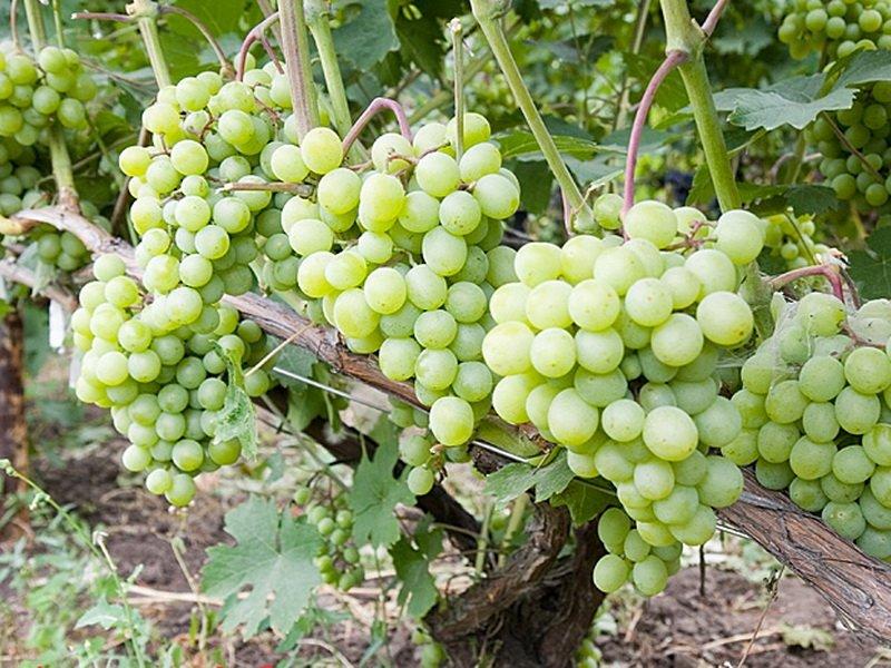 На фото сорт винограда Фрумоаса албэ