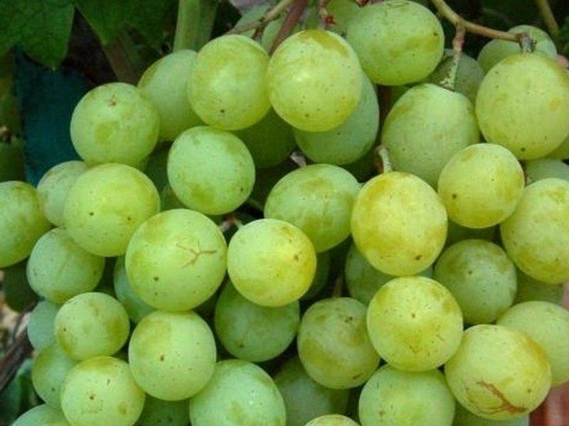 Ягода винограда Фрумоаса албэ на фото