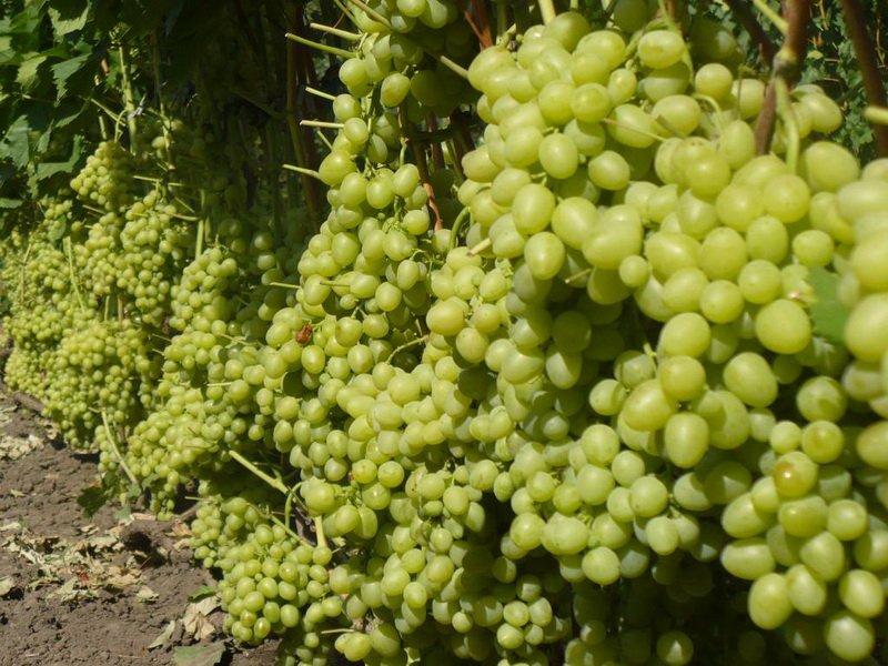 На фото сорт винограда Цветочный