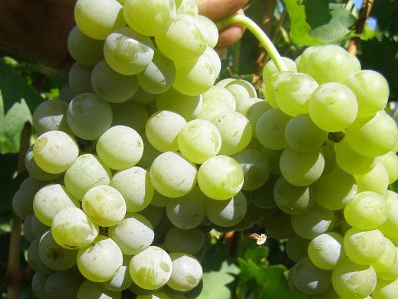 Ягода винограда Цветочный на фото