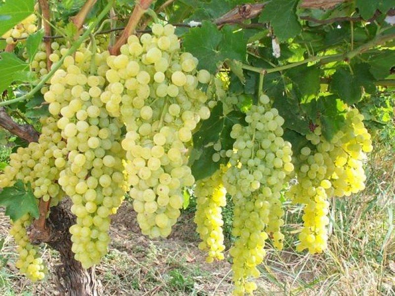 На фото сорт винограда Шасла мускатная