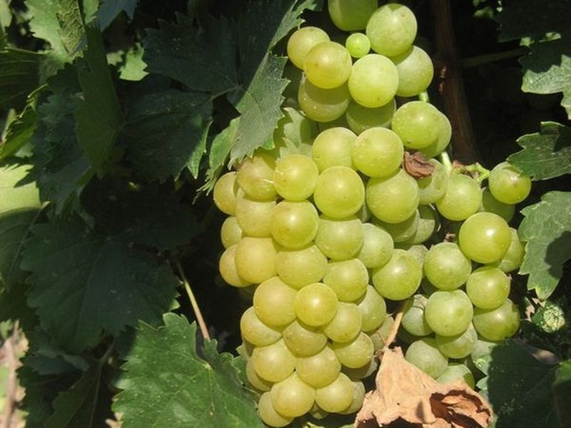 Ягода винограда Шасла мускатная на фото